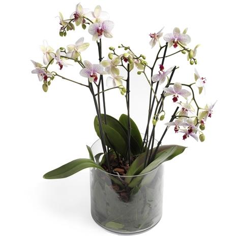 roze orchidee glazen pot roze orchidee glazen pot bezorgen in nederland regiobloemist. Black Bedroom Furniture Sets. Home Design Ideas